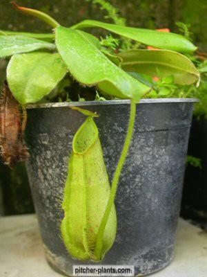 philippines carnivorous plants