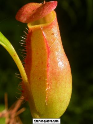 carnivourous nepenthes