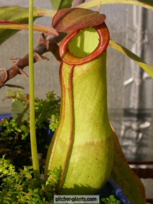 plants lowlander