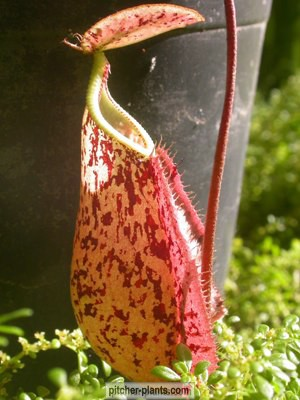Philippines nepenthes