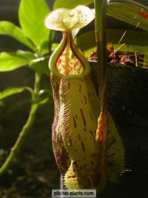 pitcher philippines