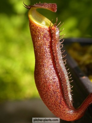 nepenthes pitchers