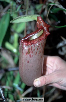 philippines nepenthes pitcher plants