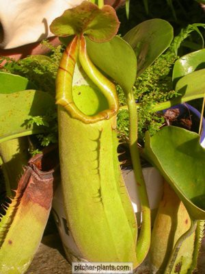 philippines pitcher plant
