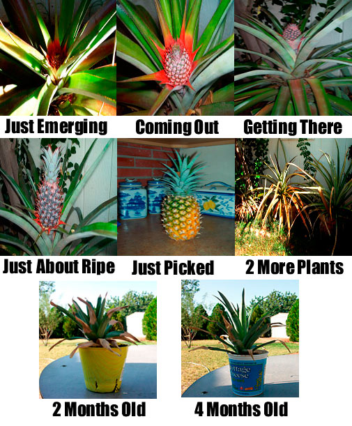 stages of pineapple growth
